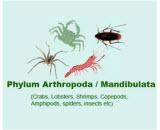 Arthropoda or Mandibulata *