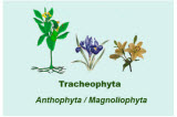 Tracheophyta or Anthophyta or Magnoliophyta *