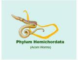Hemichordata
