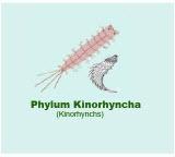 Kinorhyncha