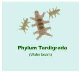 Tardigrada