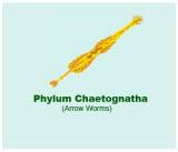 Chaetognatha