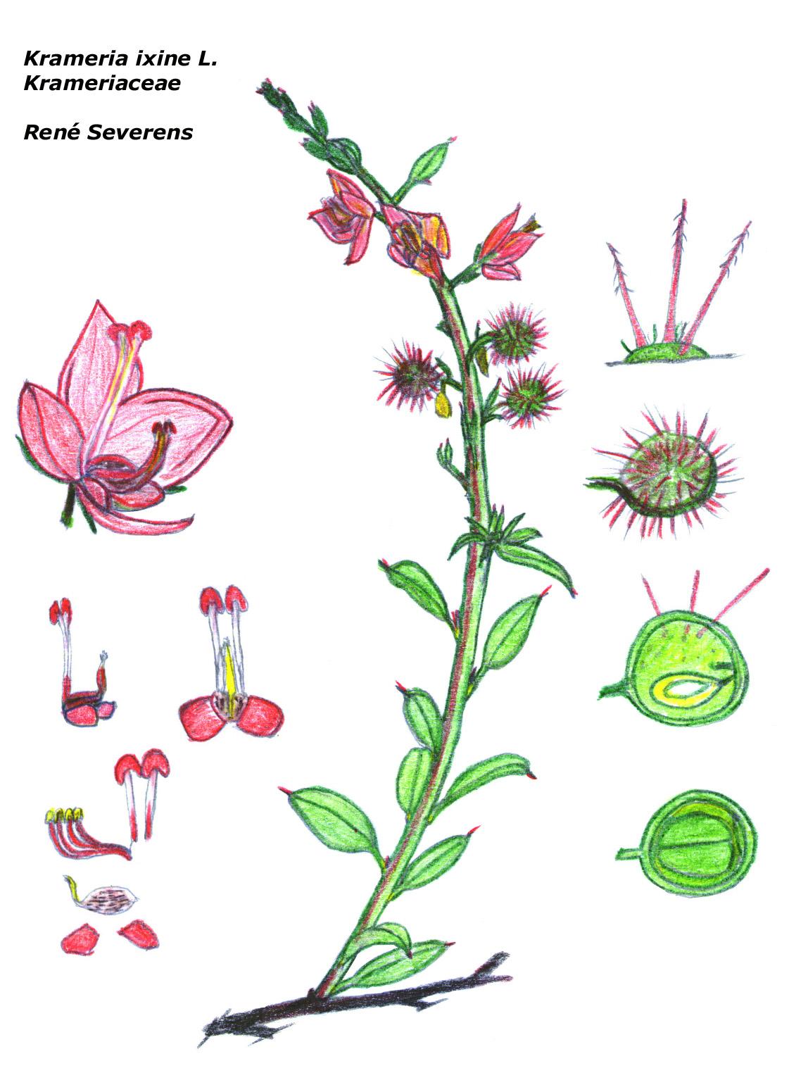 Species Detail Krameria Ixine